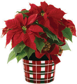 Poinsettia, the Christmas plant, is popular in many American homes. With the introduction of long-lasting cultivars, the popularity of the poinsettia has ...