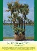 Paurotis Wrightii Palm