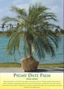Phoenix Roebellini Palm