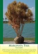 Marginata Tree